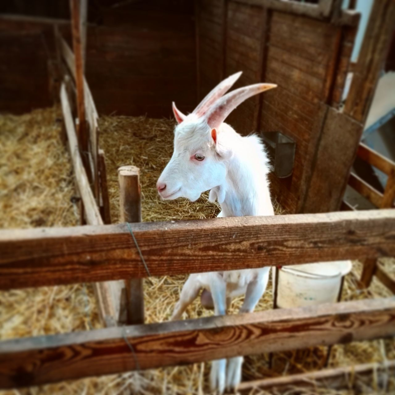 Animal Themes Domestic Animals One Animal Pets Mammal Wood - Material Animal Zoology Wooden House Peeking Front View Curiosity Selective Focus Reaching Day Animal Head  Goat