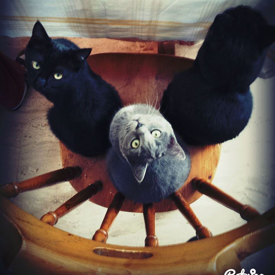 I would like to sit down! Favoritesubjects Instacats Cat Cats blackcat greycat silver picoftheday bestpicoftheday greeneyes cateyes toomanycats instadaily beautyoftheday blackcatsofinstagram catgram