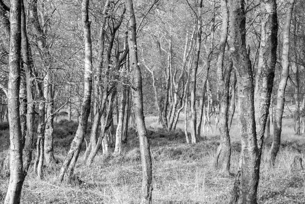 Bare Tree Beauty In Nature Black And White Photography Derbyshire Landscape Nature Repetition Silence Silver Birch Trees Silvery White Tranquil Scene Tree Trunk Trees WoodLand