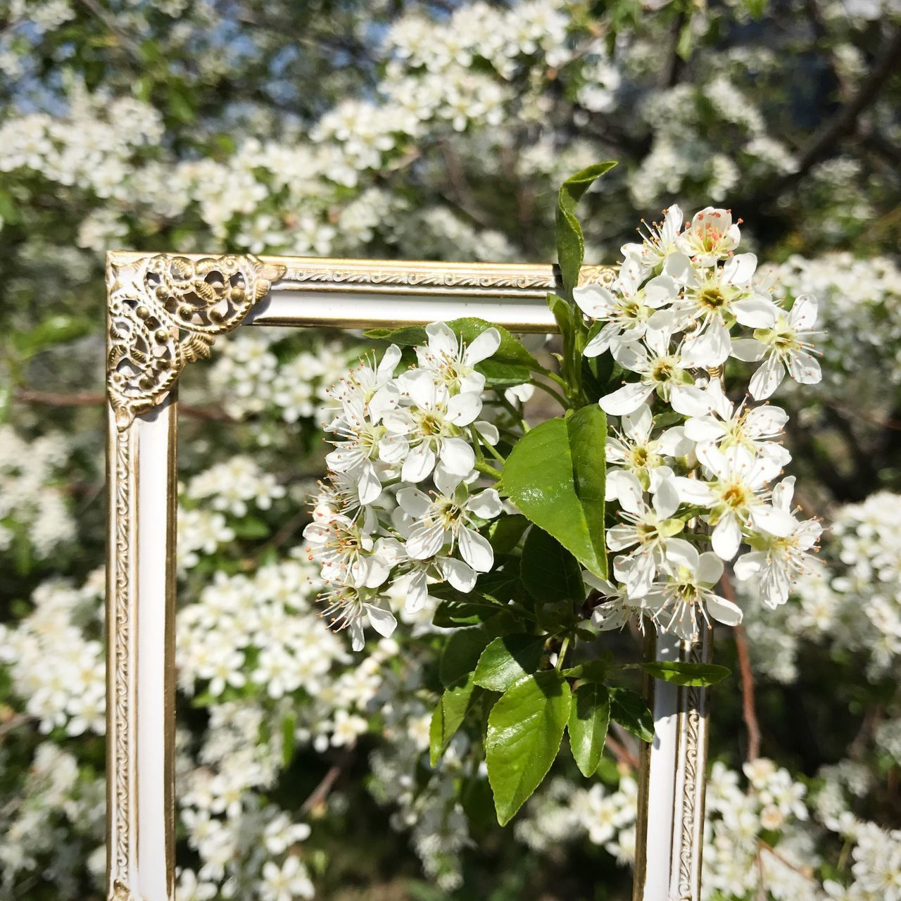 Framed Prunus padus Flower Growth Nature Focus On Foreground Close-up Outdoors Tree Fragility Beauty In Nature Freshness Flower Head Bird Cherry Tree Sunny Day Summer White Flower Blooming Springtime No People Day Plant Branch Sun Frame Vintage Frame Flowers