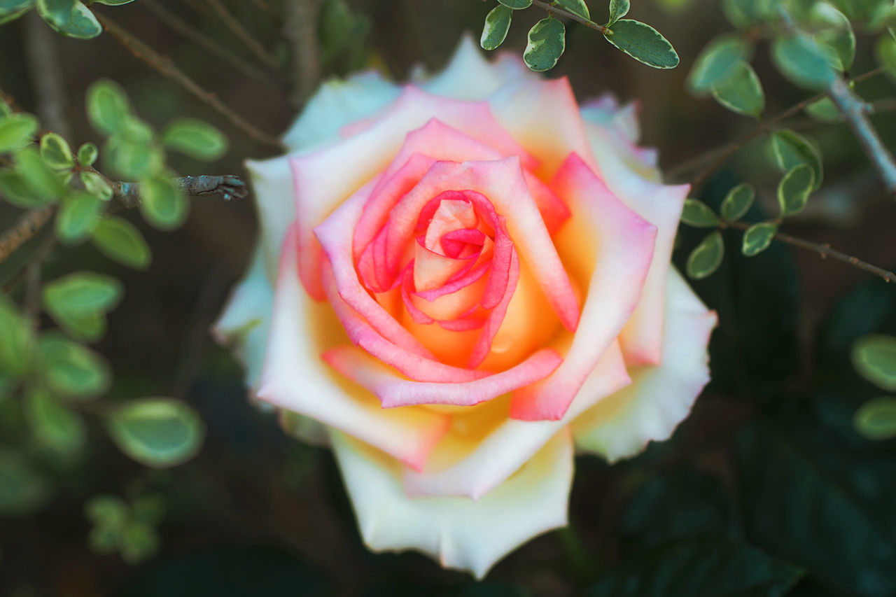 flower, rose - flower, petal, growth, nature, plant, beauty in nature, freshness, fragility, no people, flower head, close-up, outdoors, blooming, day