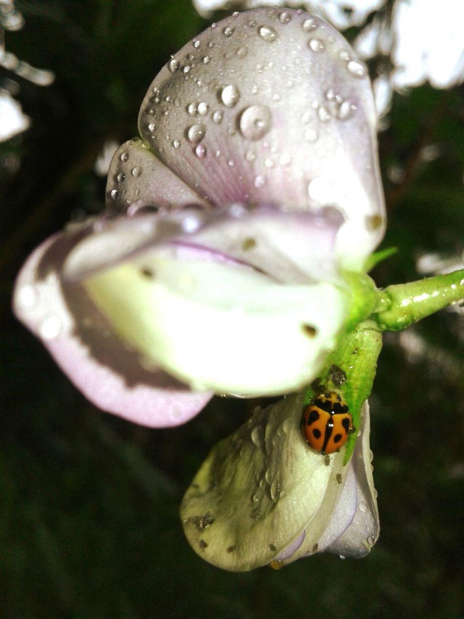 Nature Rain Beanflower Ladybug🐞 Tuesdaymorning ☺❤