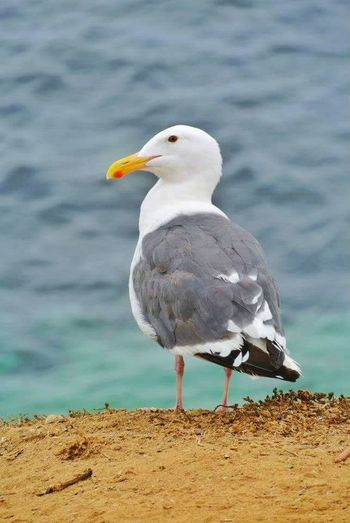 Bird Animals In The Wild Wildlife Beach Water Seagull Close-up Side View Lakeshore Sea San Diego Looking At Camera Looking At Me Simple Beauty Simple Things In Life One Animal Animal Themes First Eyeem Photo PhonePhotography