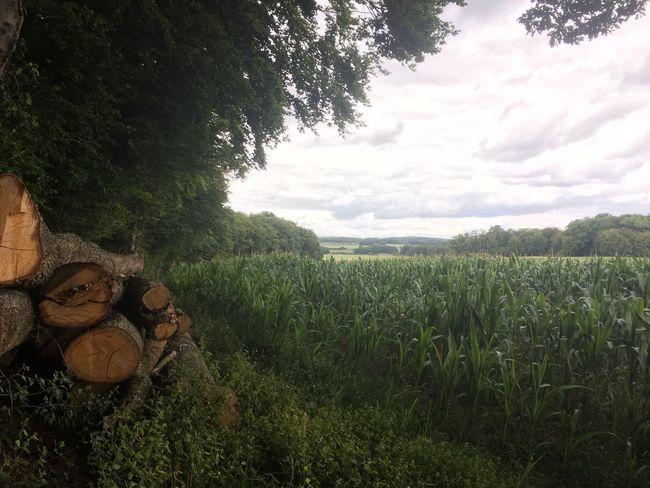 Waldspaziergang Walk In The Woods Maisfeld Cornfield Cornfield And Sky Cornfieldandclouds Promenade Verte Champ De Mais Mais Nature Photography Nature Lover Natur In Der Natur Baumstämme Tree Trunks Troncs
