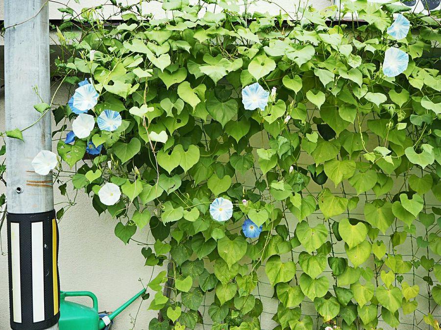Asagao Flowers Taking Photos Wall Travel