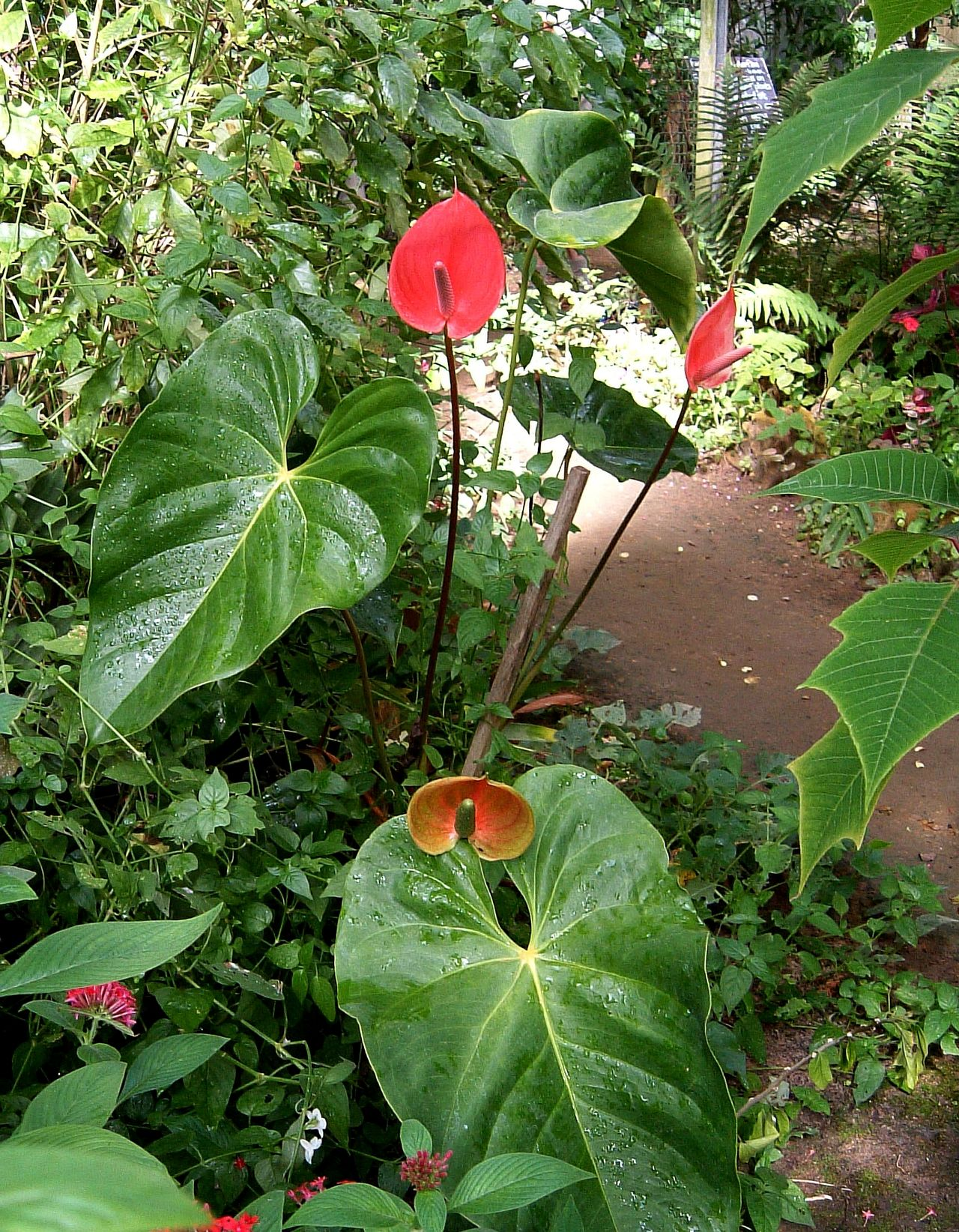 Natural Fly Swatter, Anthurium ~ Africa Anthurium Beauty In Nature Close-up Day Flower Flower Head Fragility Freshness Green Color Growth Large Leaves Leaf Natal Nature No People Outdoors Plant Red South Coast Tropical Climate Tropical Flowers Tropical Plants