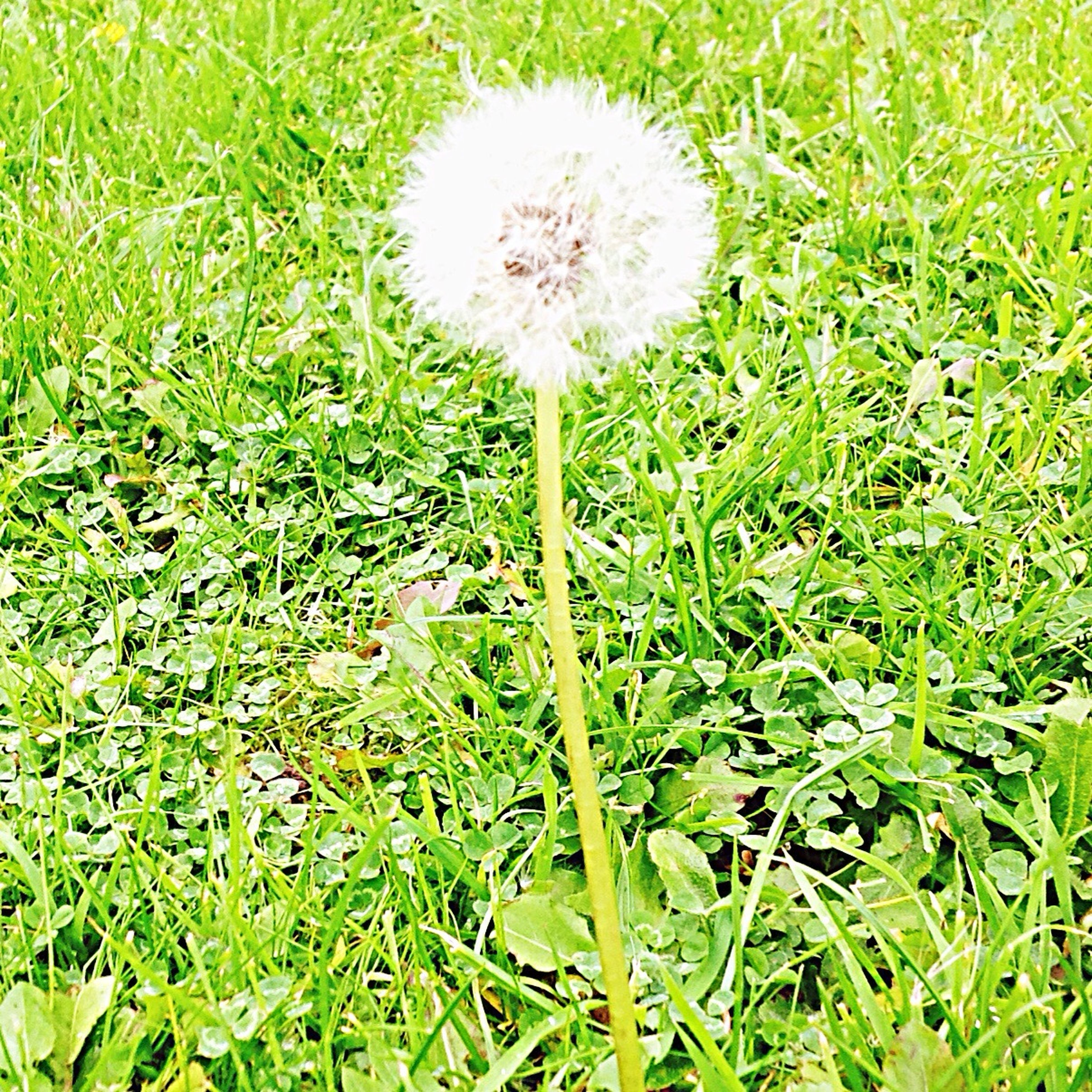 grass, green color, nature, flower, beauty in nature, growth, white color, dandelion, no people, fragility, field, freshness, flower head, outdoors, plant, scenics, day, wildflower, seed, close-up, dandelion seed