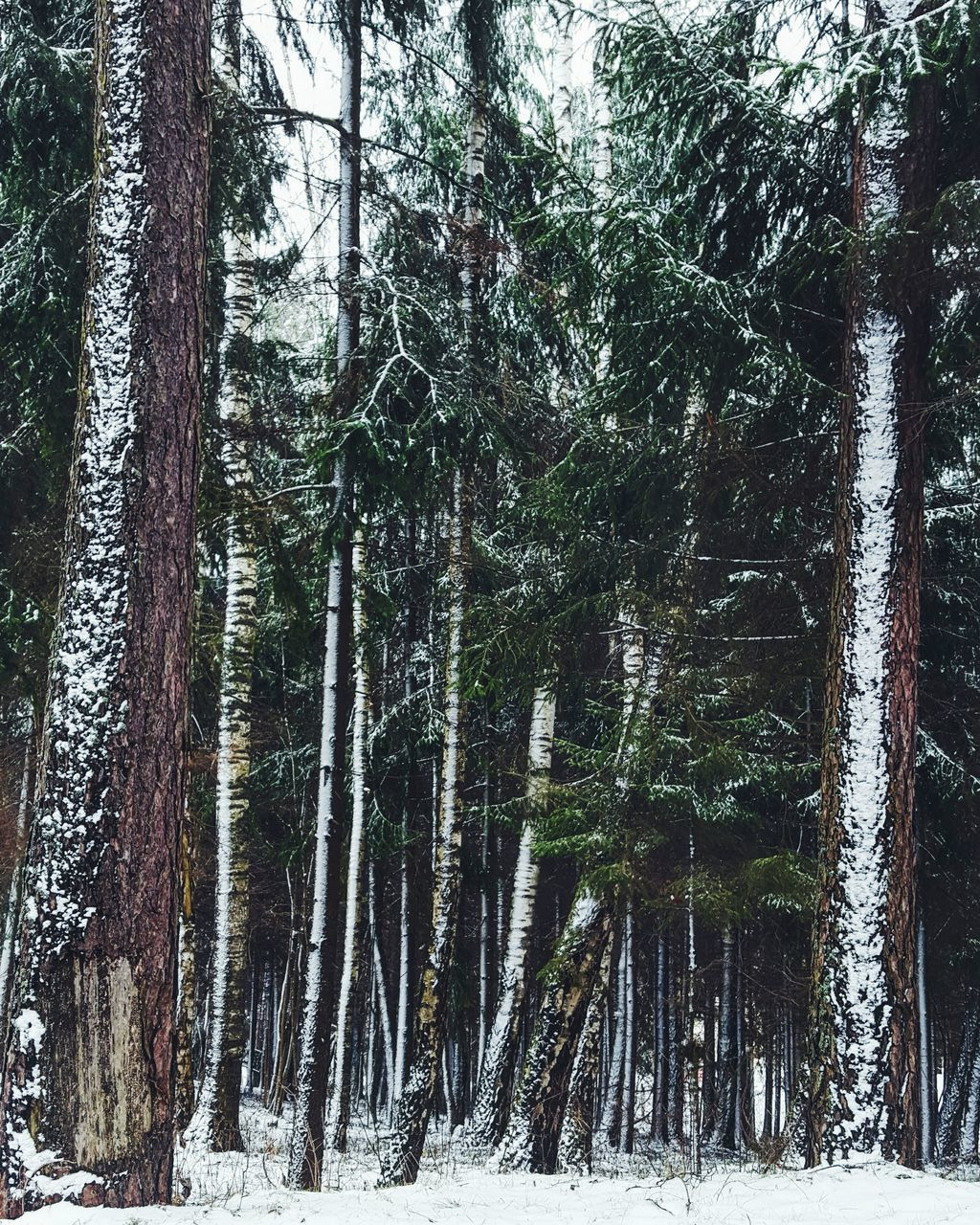 snow, winter, tree, cold temperature, tree trunk, nature, beauty in nature, no people, day, forest, weather, outdoors, tranquility, growth, scenics, landscape, branch