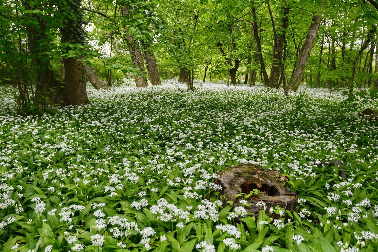 Wild garlic forest Field Of Flowers Forest Life Forest View It Is Very Beautiful Wonderful Time Whiteflower White Flower Beauty In Nature EyeEm Gallery Hello World Capture The Moment Nikon_photography_ White Color Nature Wonderland Wonderful_places Eyeem4photography Forest Photography Wild Garlic Wild Garlic Flowers Fields Of Flowers Landscape Beauty_collection Outdoors Enchanted Forest The Great Outdoors - 2017 EyeEm Awards Live For The Story
