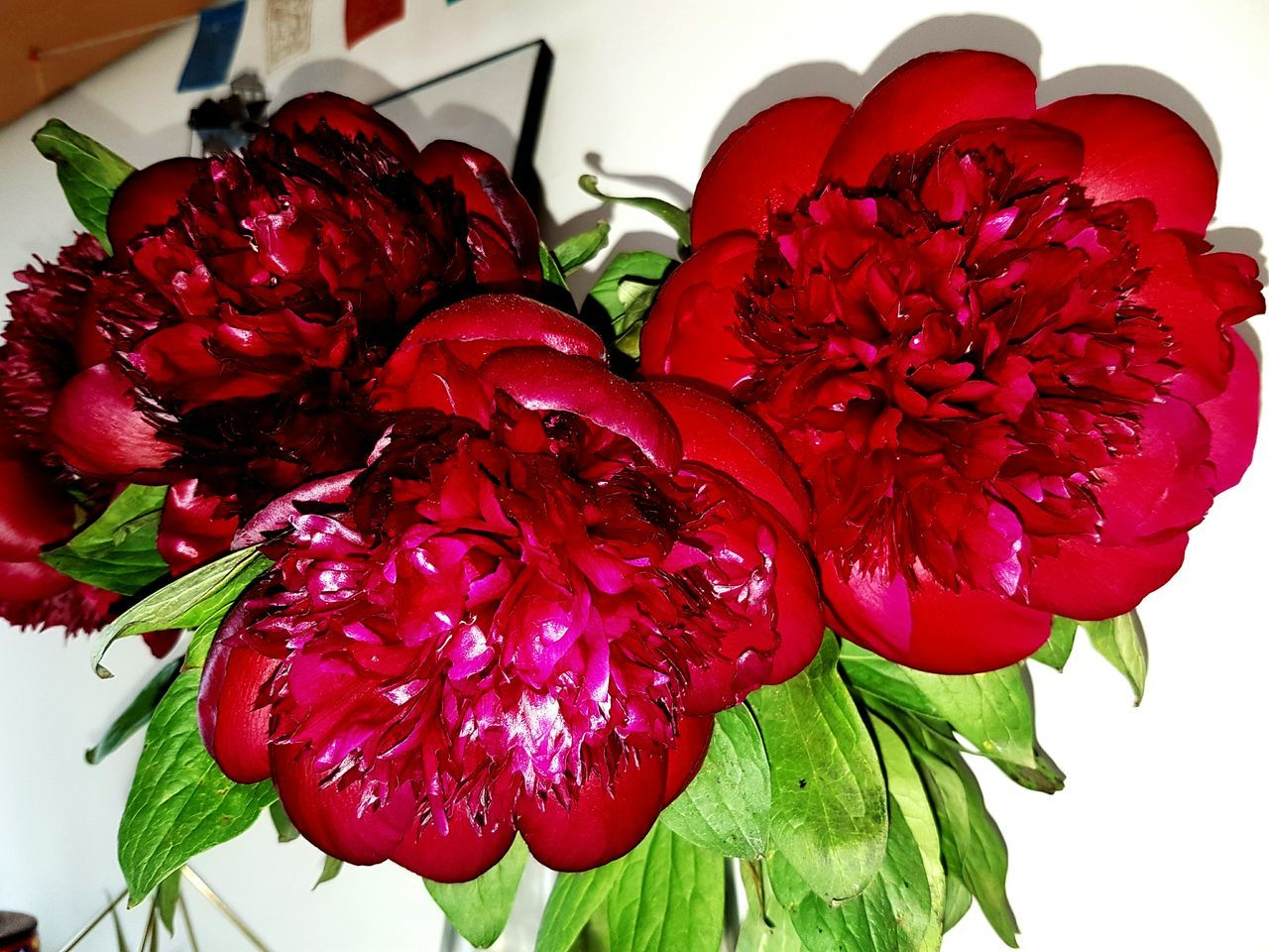 Haarlem Flowers Peony  Red Flowers Red Charm