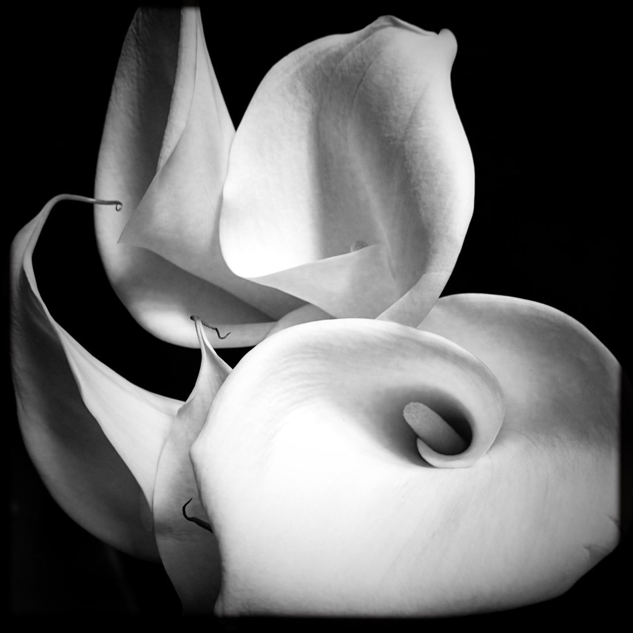 Flower Fragility Beauty In Nature Nature Petal Flower Head Freshness Calla Lily Close-up Growth No People Outdoors Day Calla Lily