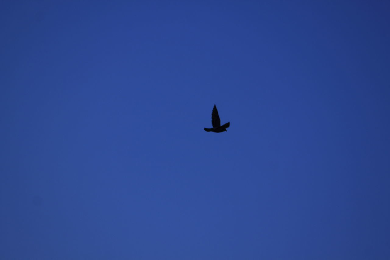 flying, blue, wildlife, copy space, clear sky, bird, nature, no people, animal themes, outdoors, day