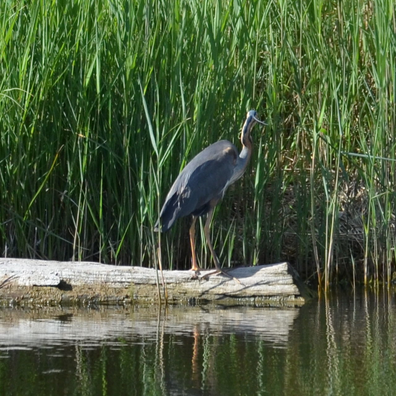heron, one animal, animal themes, great blue heron, bird, animals in the wild, gray heron, lake, animal wildlife, water, reflection, waterfront, lakeshore, day, nature, perching, outdoors, no people, plant, grass, growth, beauty in nature