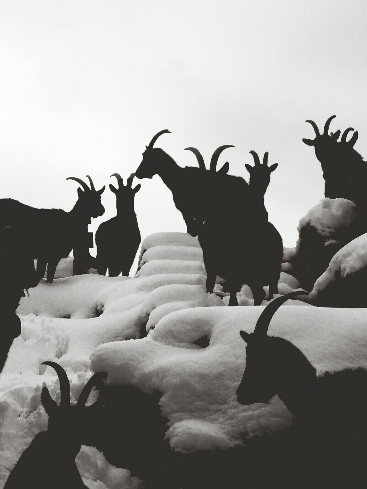 Blackandwhite Snow Goats Gagglo