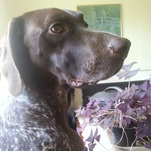 ottobear. Puppy Dog Sofistapuppy Gsp