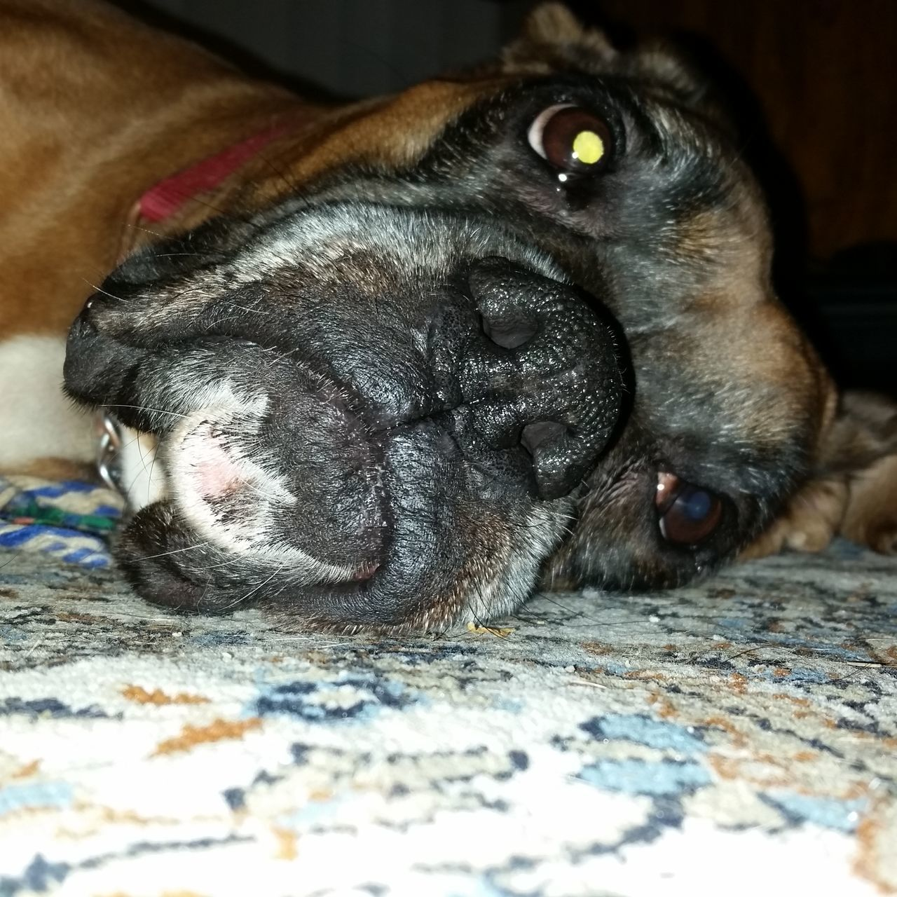 Dog Indoors  Close-up Purebred Boxer Unconditional Love Furbaby