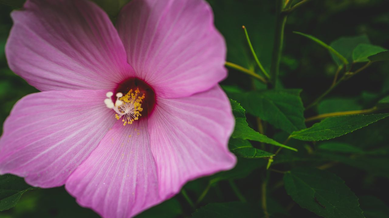 flower, petal, fragility, nature, flower head, freshness, beauty in nature, plant, growth, pollen, outdoors, blooming, day, no people, animals in the wild, insect, one animal, pink color, animal themes, close-up, bee