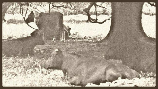 Enjoying My World In My Backyard I See Cows. Animal Love Simple Photography