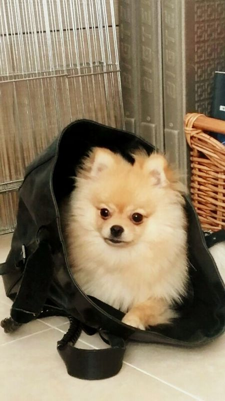Eddie in the bag Pets Dog At Home Check This Out Helloworld Pomeranian Dogofeyeem Korea Cute