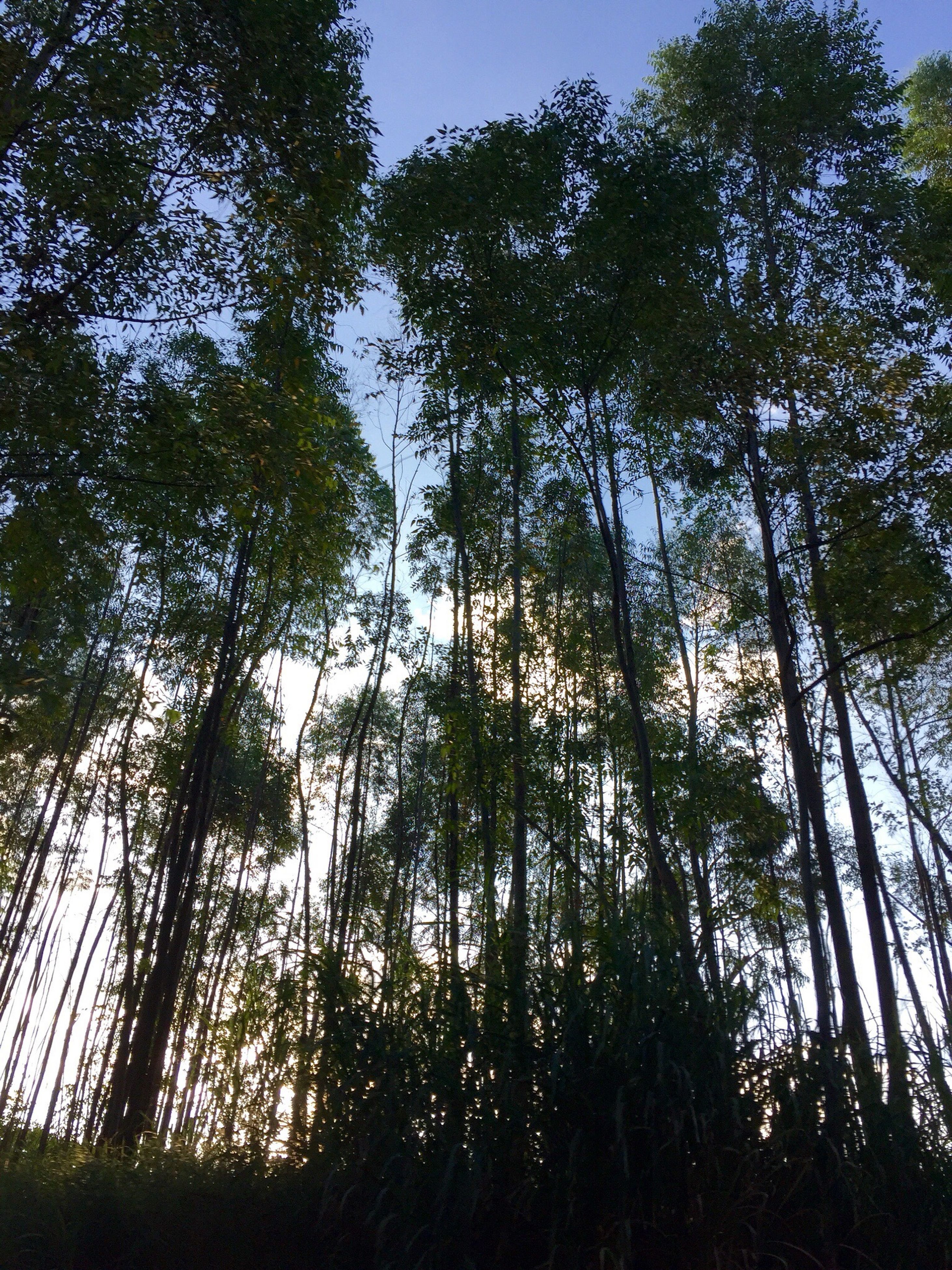 low angle view, tree, tree trunk, forest, growth, tranquility, tall - high, tall, woodland, tranquil scene, scenics, nature, branch, beauty in nature, green, sky, day, non-urban scene, outdoors, blue, solitude, woods, green color, lush foliage, no people