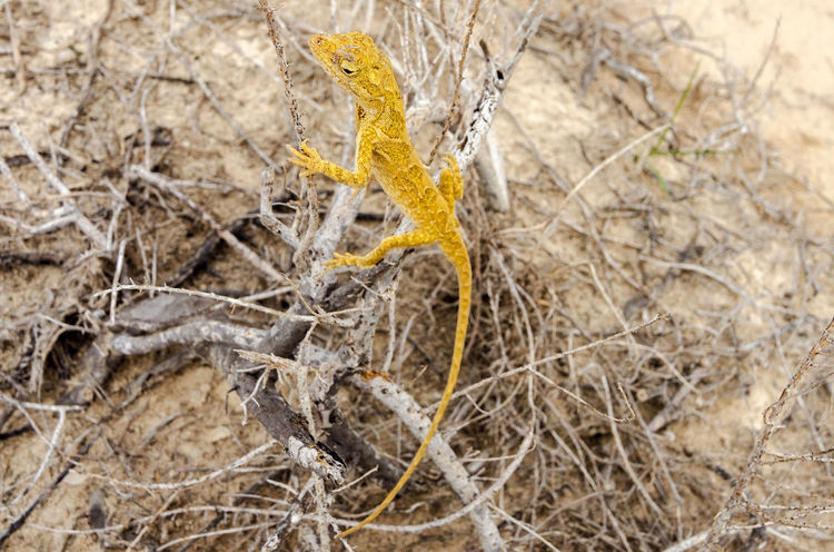 Small yellow lizard in La Guajira, Colombia Animal Animal Themes Animals In The Wild Anole Anolis Colombia Desert Dry Iguana La Guajira La Guajira Colombia Lizard Nature Nature Norops Outdoors Polylepis Punta Gallinas Reptile Scaled South America Tropical Wild Wildlife Yellow