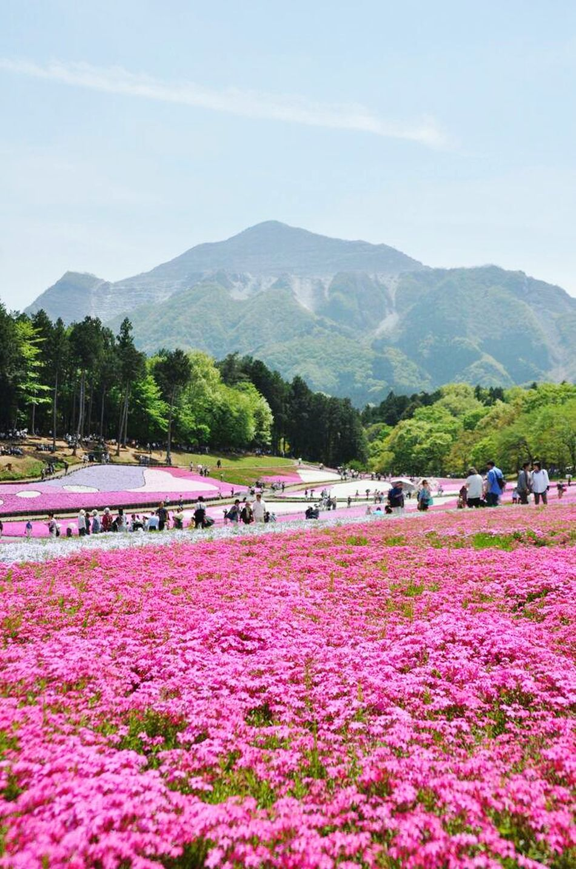 Taking Photos Flowers At 羊山公園 芝桜の丘