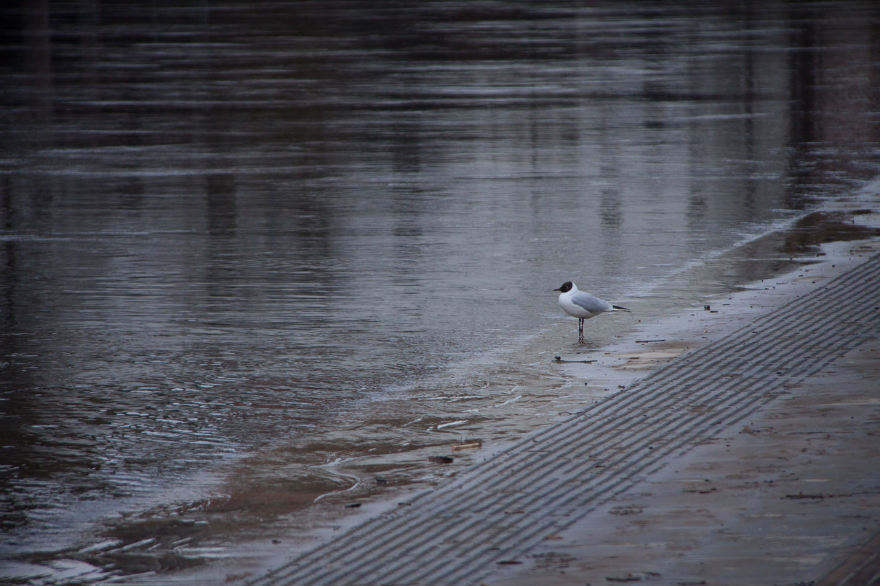 ... Bird Black Headed Gull Day Gull March Neris No People One Animal Outdoors Pavement Perching Reflections Relaxing Spring Surface Water Waterfront