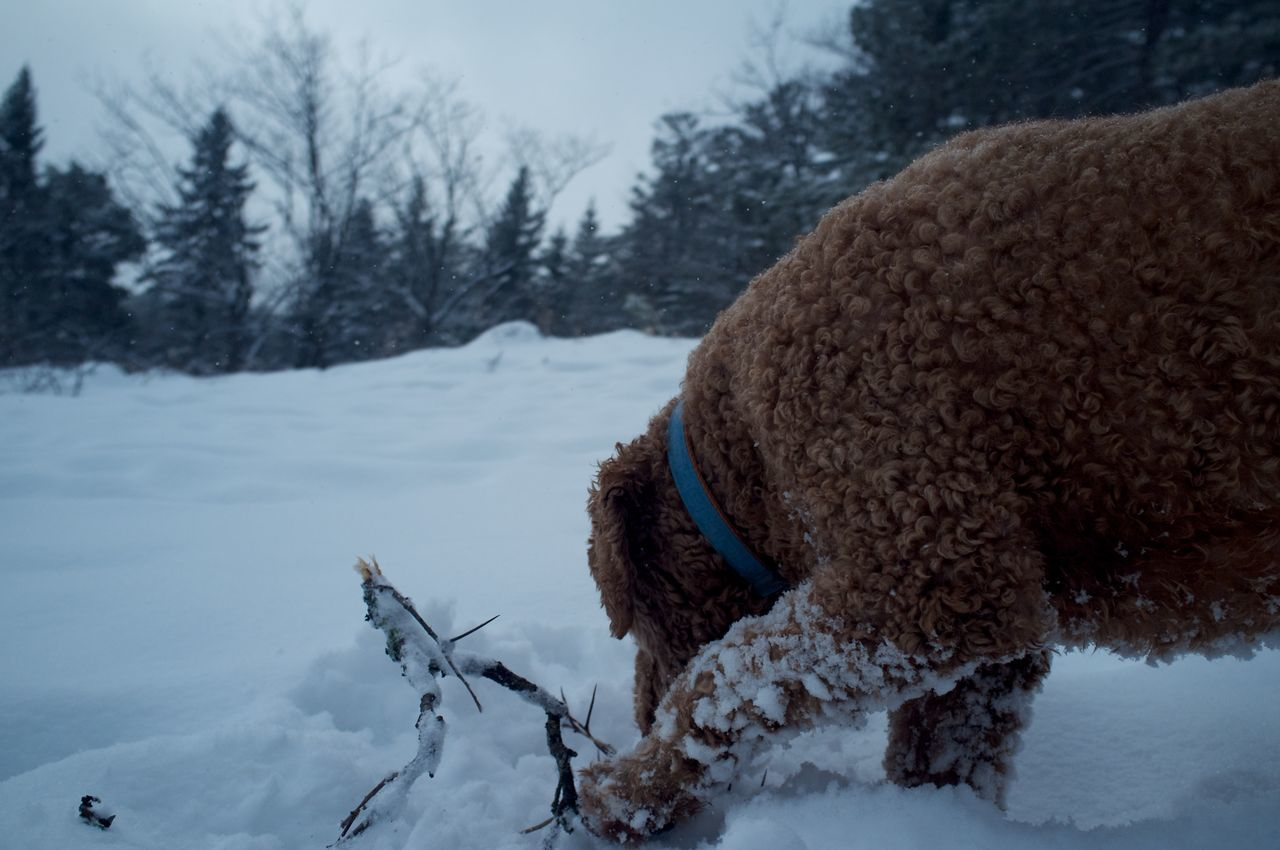 January 26, 2016 Adventure Bare Tree Cold Cold Temperature Composition Covered Covering Day Domestic Animals Duluth Frozen Goldendoodle Minnesota Outdoors Perspective Season  Snow Snow Covered Weather White White Color Winter