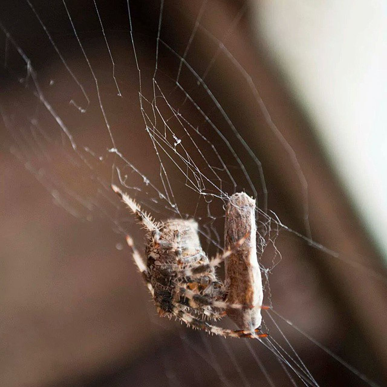 spider web, spider, one animal, web, animal themes, animals in the wild, close-up, insect, focus on foreground, no people, nature, day, weaving, animal wildlife, outdoors, fragility