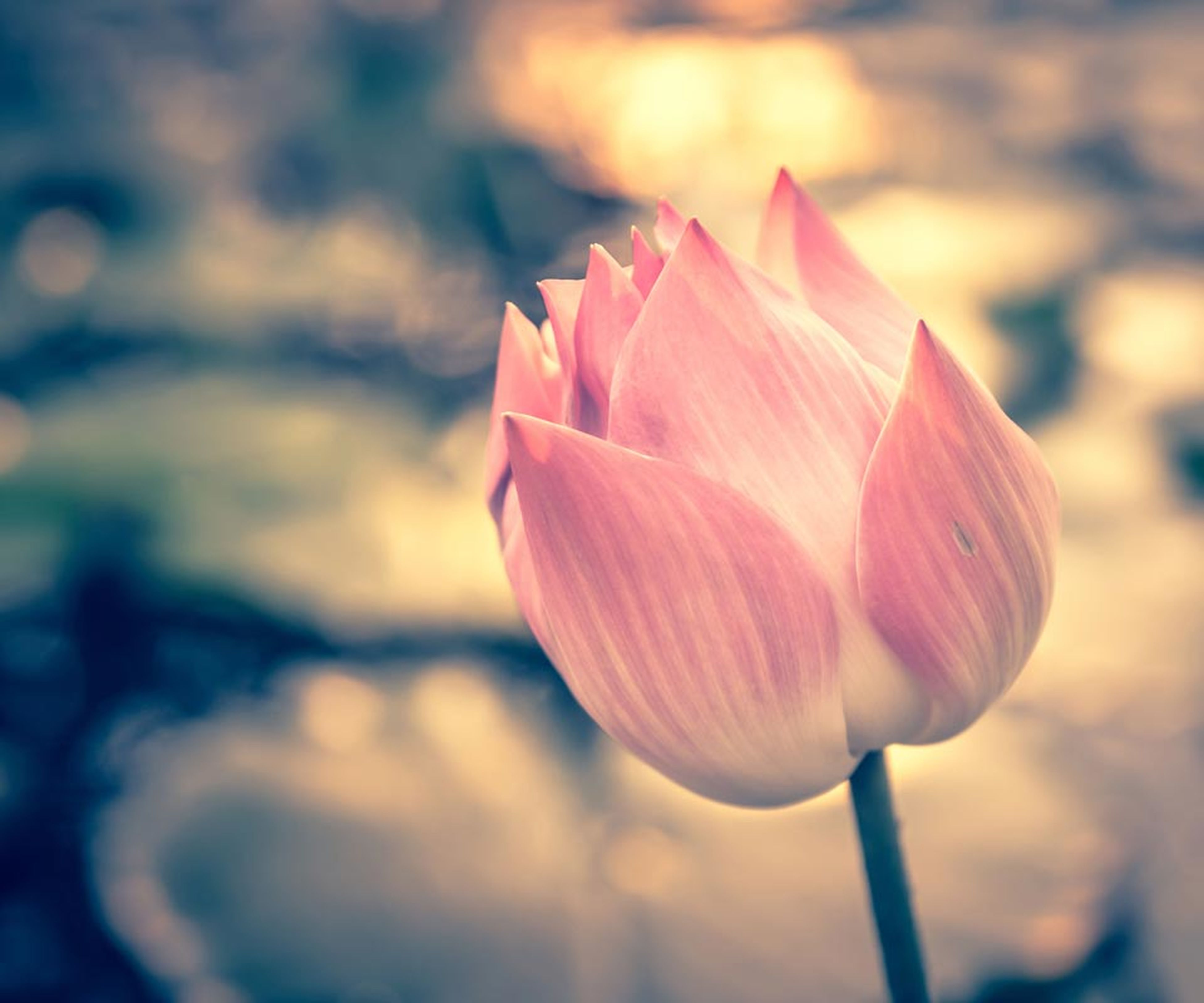flower, petal, flower head, freshness, fragility, beauty in nature, focus on foreground, close-up, growth, nature, single flower, pink color, stem, tulip, blooming, plant, outdoors, no people, in bloom, bud