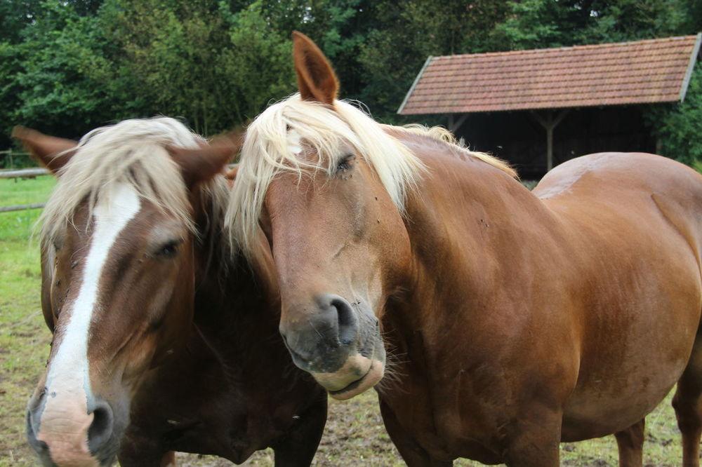Animal Head  Animal Themes Brown Domestic Animals Horse Livestock Standing Two Animals