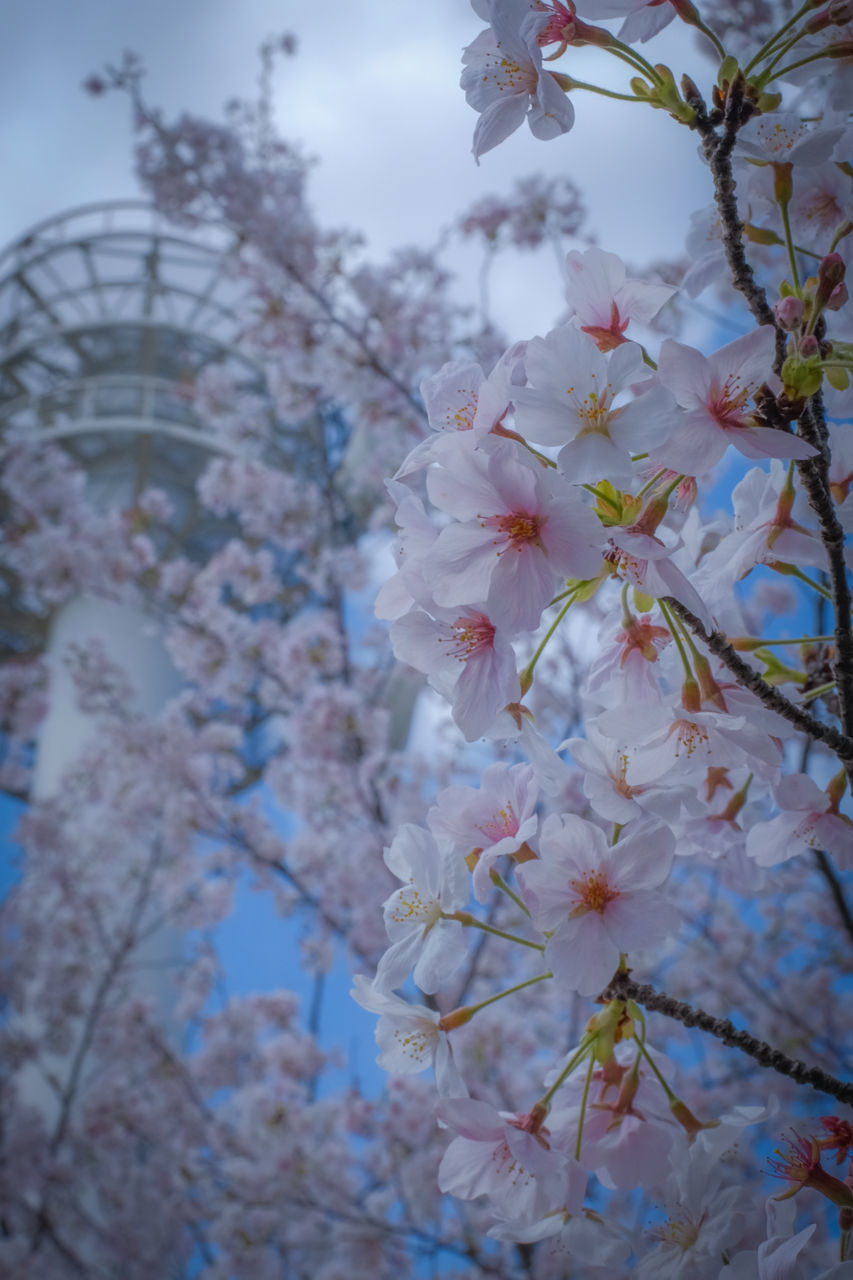 flower, blossom, tree, fragility, beauty in nature, springtime, branch, white color, nature, petal, growth, apple blossom, botany, freshness, no people, twig, stamen, day, close-up, flower head, plum blossom, outdoors, blooming, sky