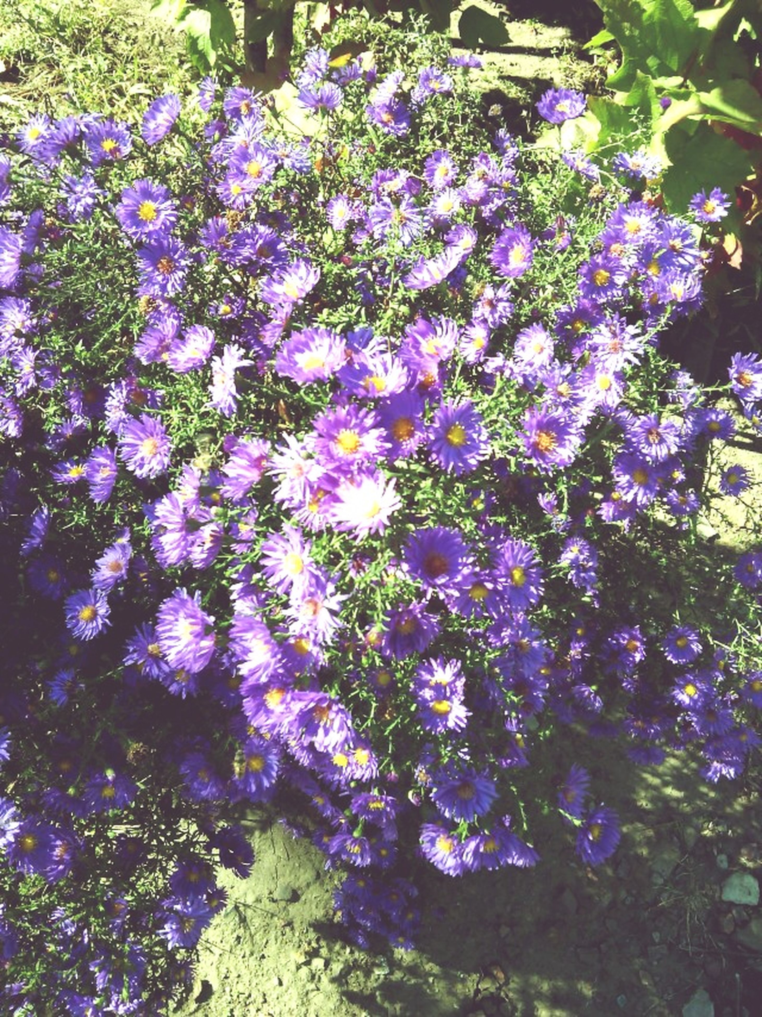 flower, growth, purple, high angle view, plant, freshness, beauty in nature, fragility, nature, abundance, petal, blooming, field, park - man made space, outdoors, day, no people, leaf, sunlight, in bloom