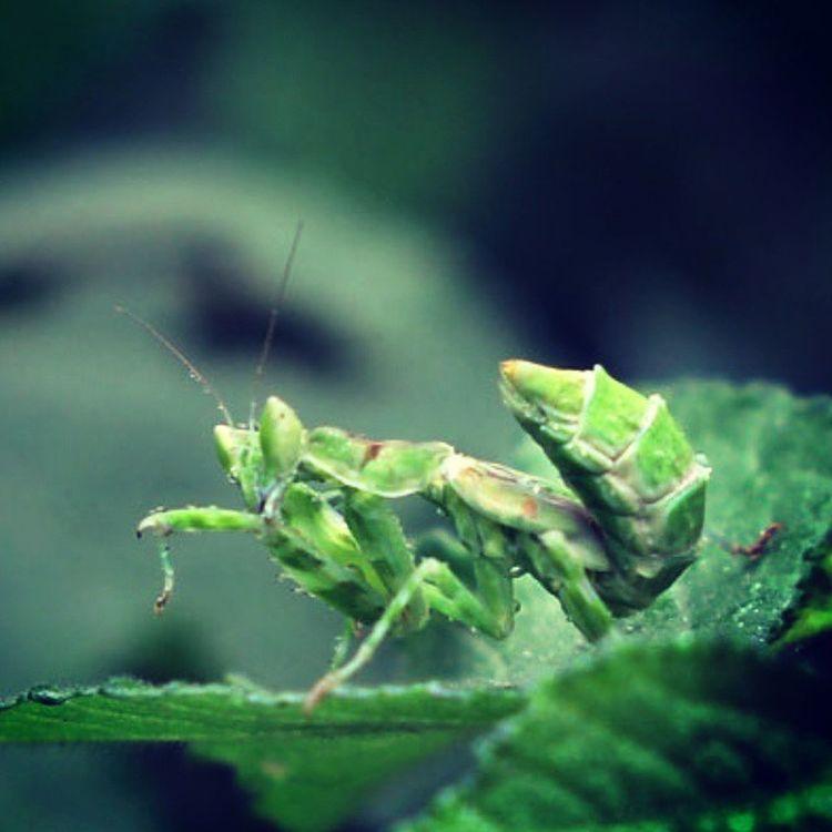 Hijaumu... Mantis Mantisgram Mantisunited Ig_mantis indonesianmantis