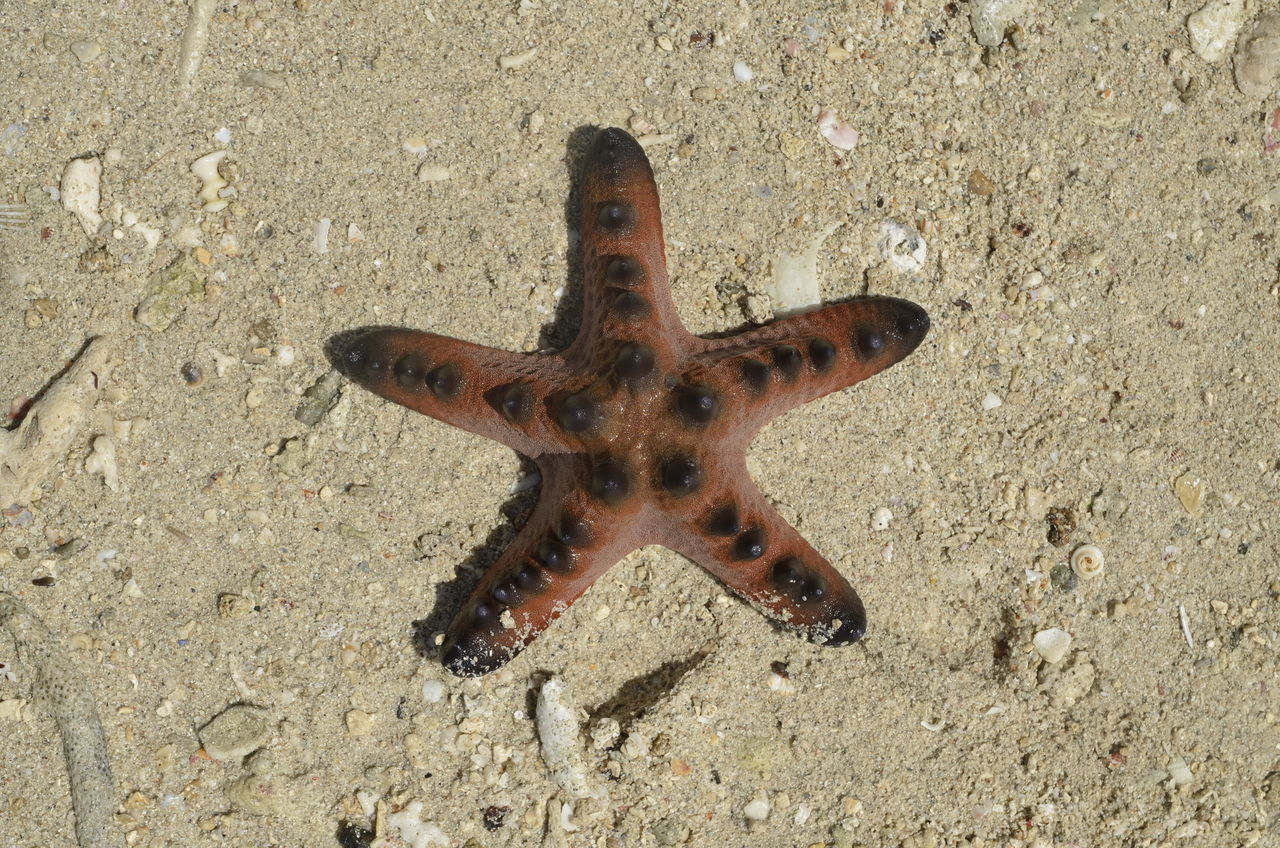 one animal, animal themes, sand, starfish, high angle view, beach, animals in the wild, day, no people, sea life, nature, outdoors, close-up