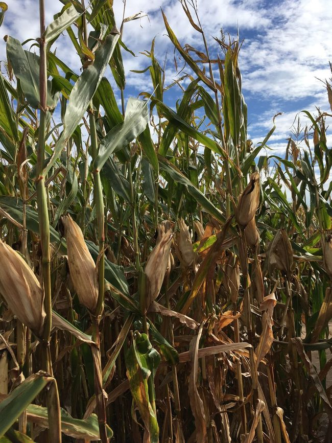 Corn Maze Cornmaze