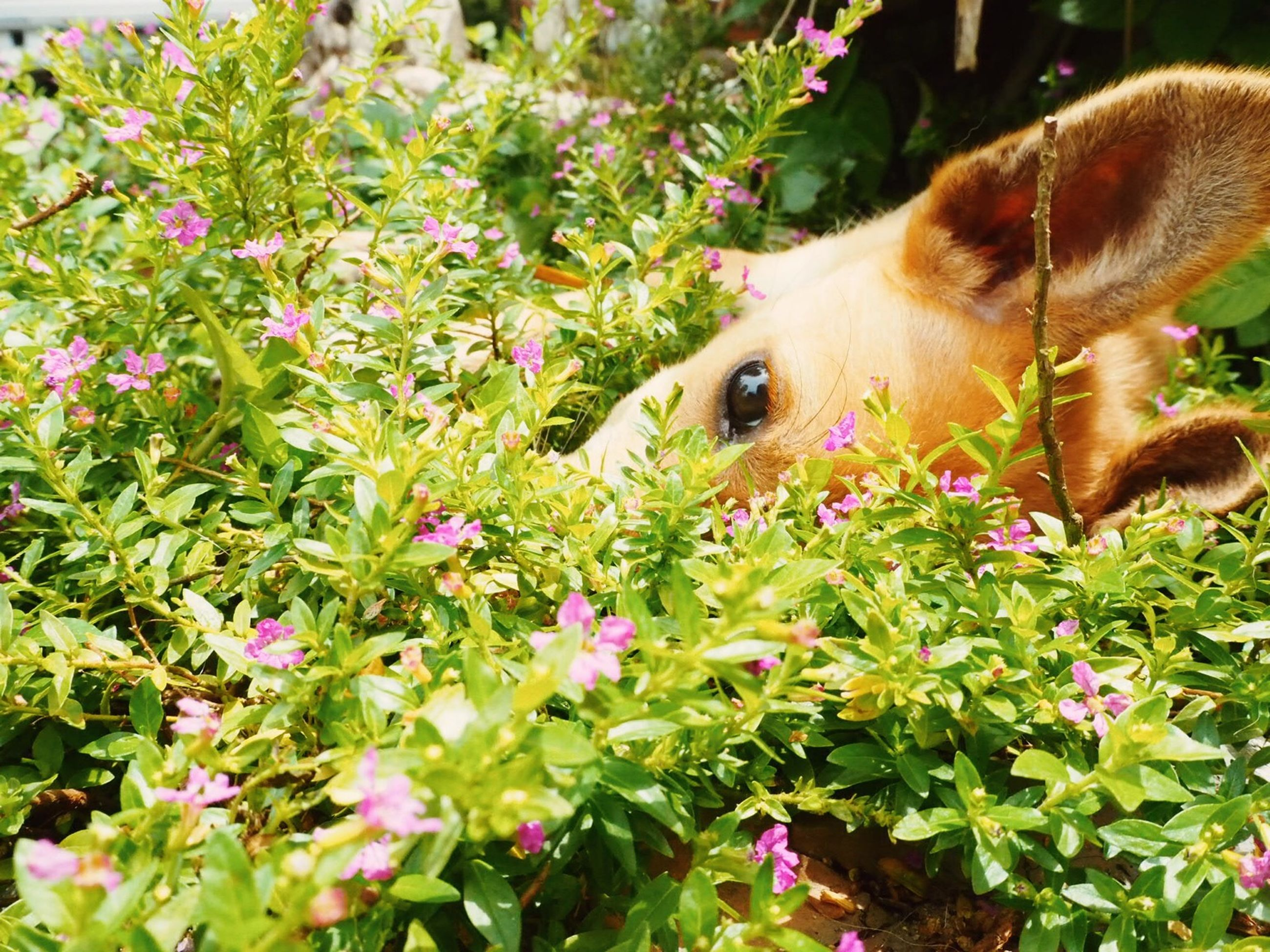 animal themes, one animal, domestic animals, mammal, flower, dog, pets, plant, growth, field, nature, close-up, pink color, no people, day, wildlife, two animals, outdoors, animal head, grass
