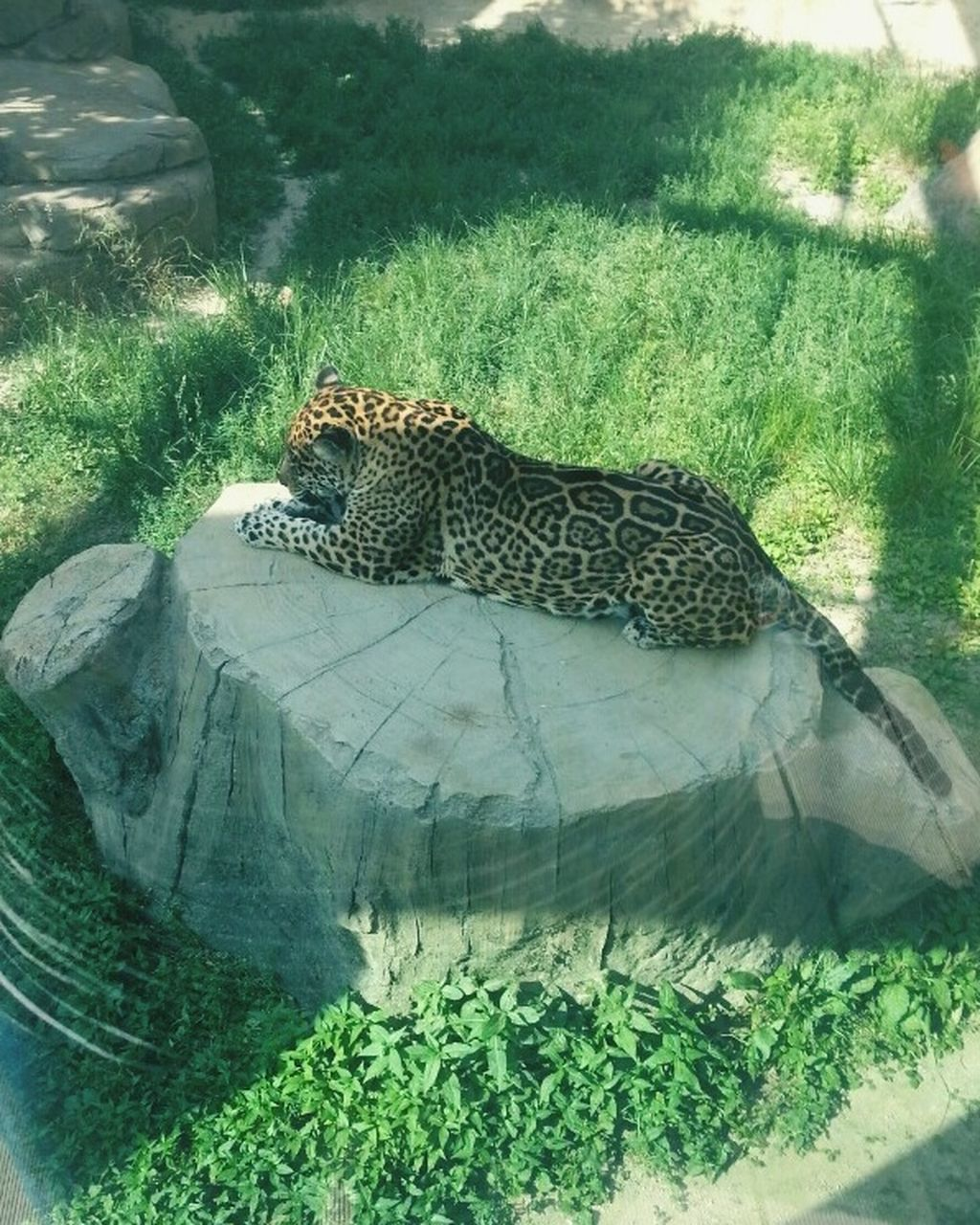 one animal, animal themes, leopard, animals in the wild, day, relaxation, nature, mammal, green color, outdoors, grass, no people, animal markings, feline, cheetah