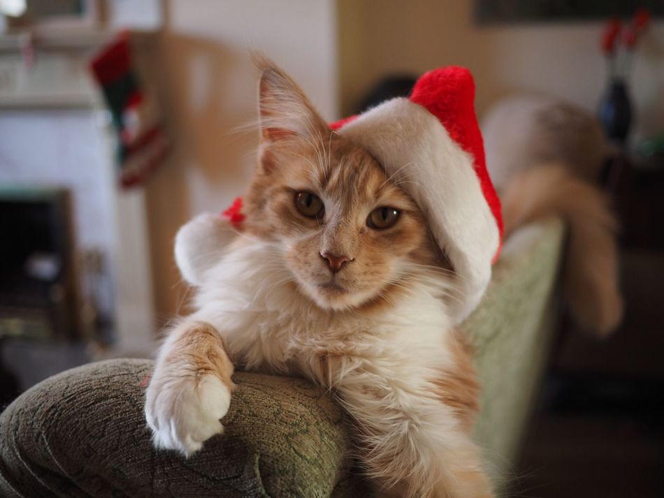 Cat Cats Mainecoon Christmastime Christmas Decorations Santa Hat Christmas Hat Pet Pets Wearing Hat Cute Pets Cute Cats Christmas Card Christmas Time Christmas Spirit Ginger Cat