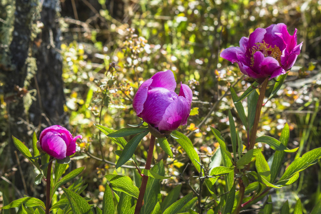 flower, purple, petal, fragility, nature, growth, beauty in nature, pink color, freshness, plant, day, flower head, focus on foreground, no people, outdoors, green color, blooming, close-up, crocus