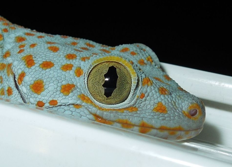 Paint The Town Yellow The Philippines Yellow Eyed Beauty Antipolo Gecko Eye Gecko Smile Macro Shot Tokay Gecko