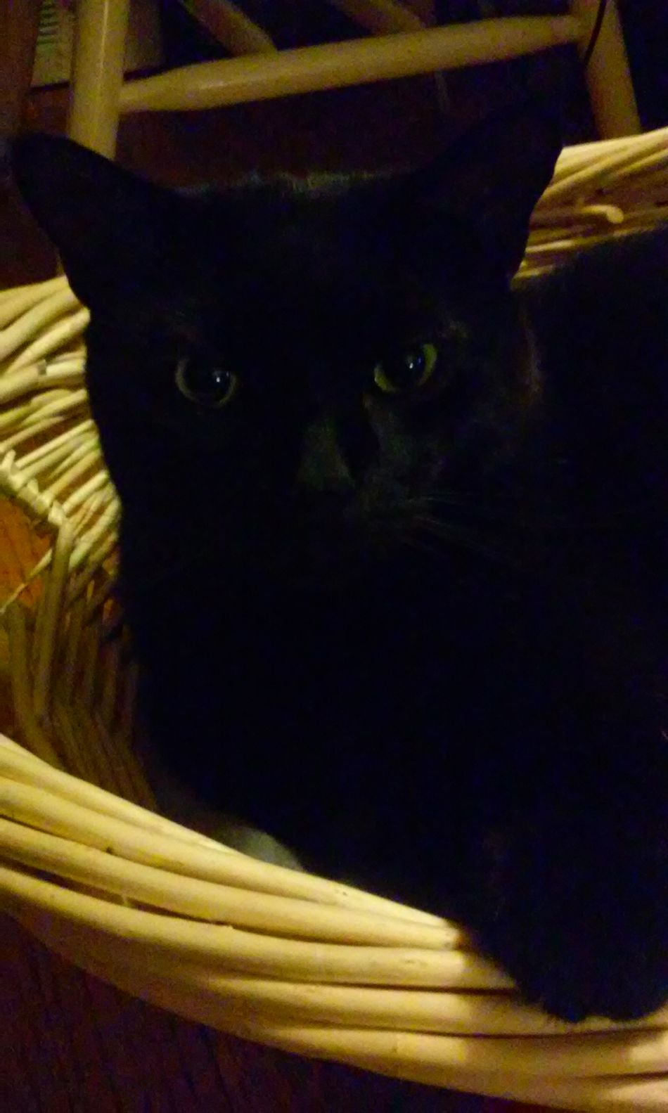 Slick Bombay Cat First Black Cat President Basket Cat