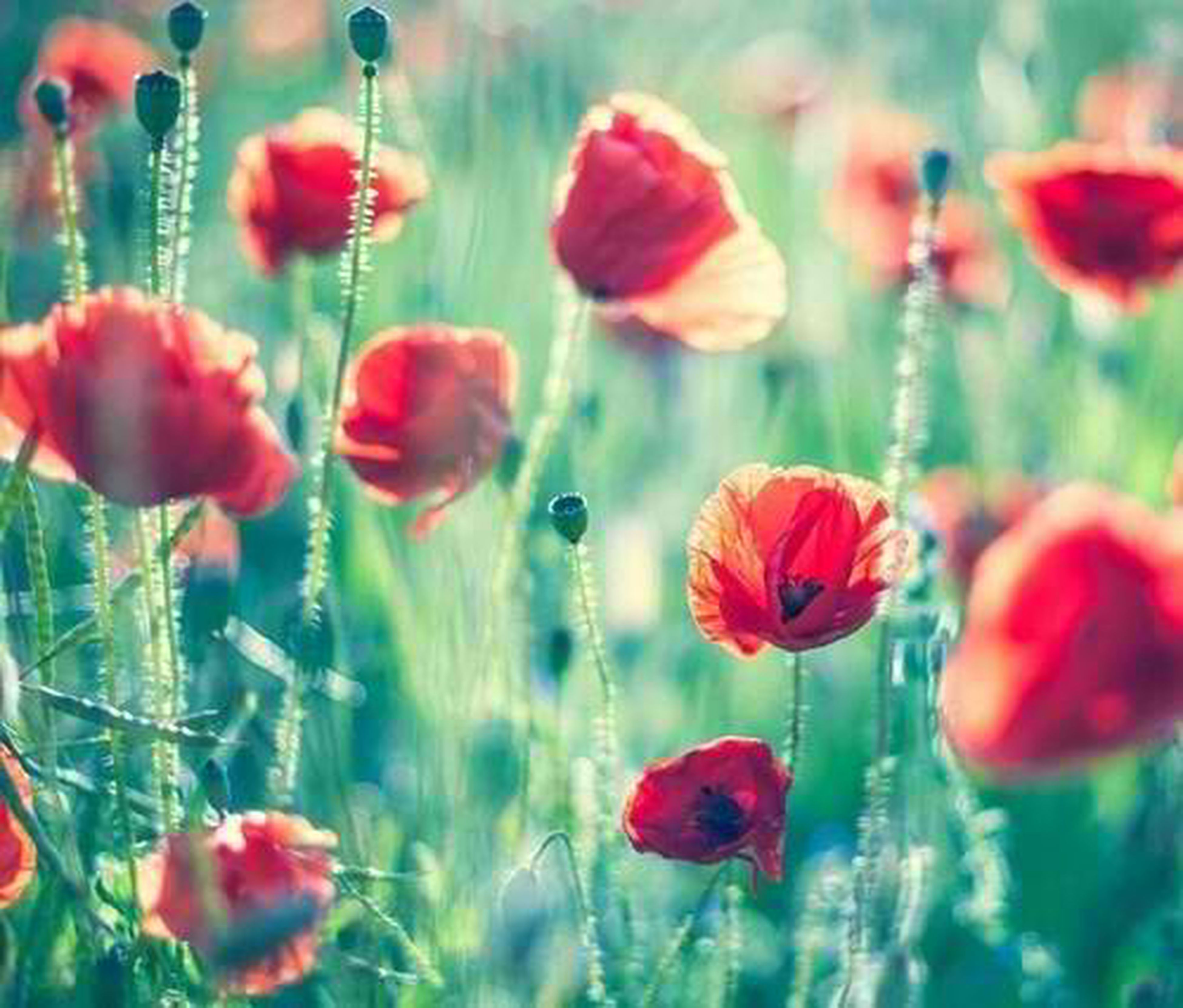 flower, freshness, growth, fragility, petal, red, beauty in nature, plant, nature, flower head, stem, blooming, tulip, bud, focus on foreground, close-up, poppy, field, water, in bloom