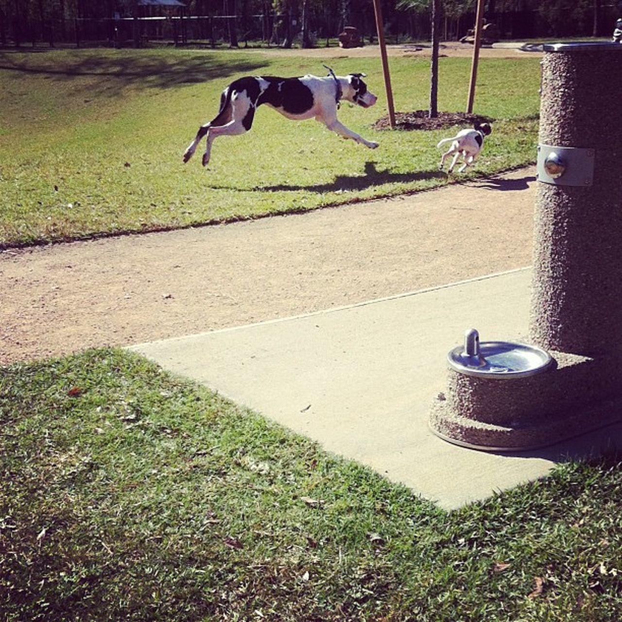 Capture The Moment Great Atmosphere Great Dane Dog Park Dog❤ Dogsofinstagram Glitch
