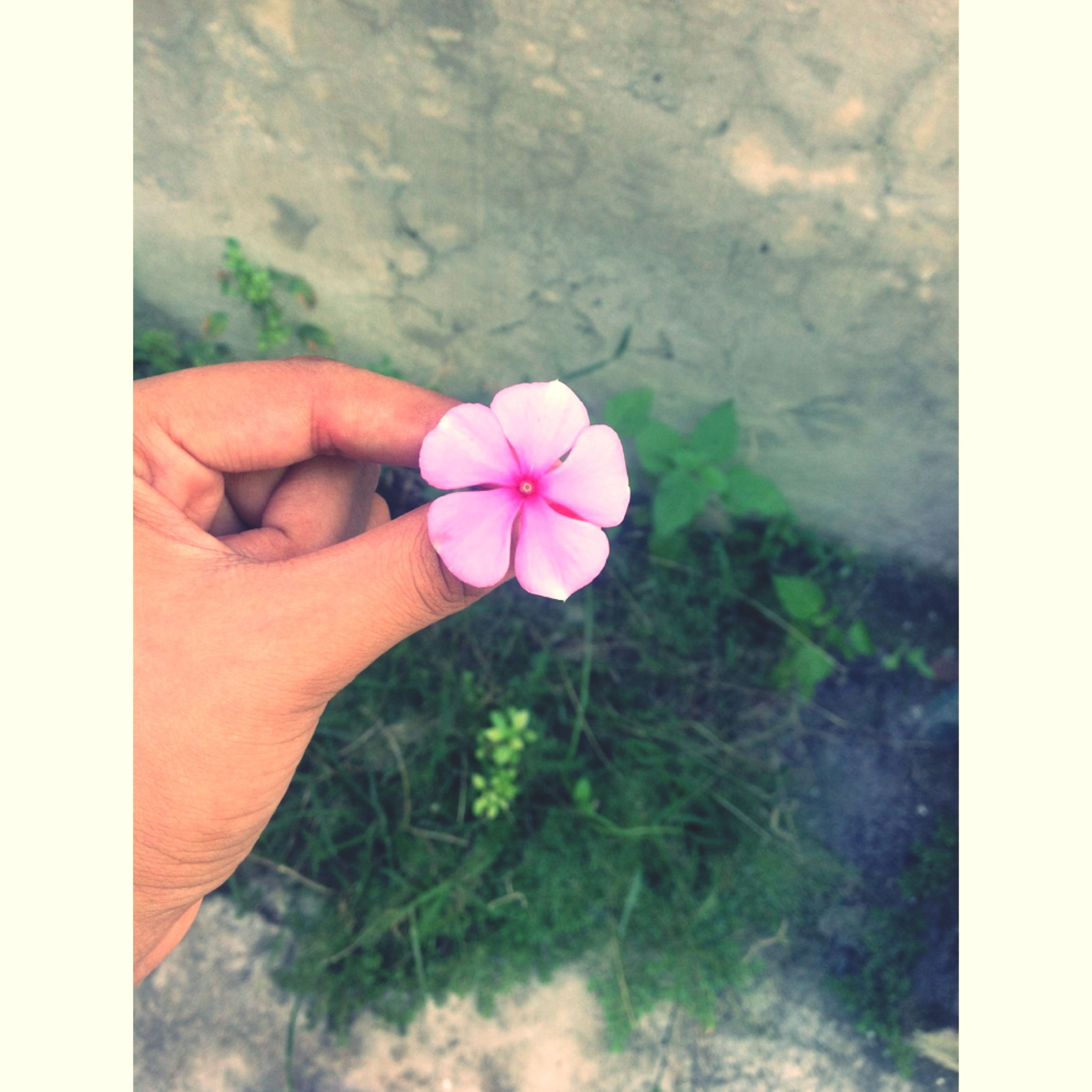 flower, transfer print, fragility, person, petal, freshness, auto post production filter, flower head, pink color, growth, part of, close-up, beauty in nature, single flower, nature, holding, focus on foreground