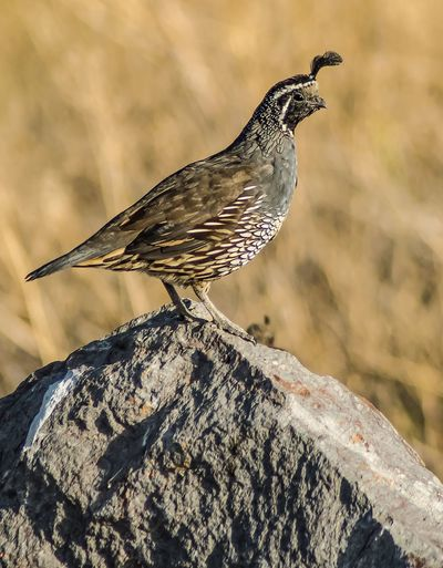 California Quail Close-up Bird Beauty In Nature No People Avian Birds Wildlife Bird Photography Nature Photography Perching Bird Watching Birds Of EyeEm  Wildlife Nature Rock Bird Photos Birds_collection One Animal Outdoors Nature Beauty In Nature Stone Nopeople Quail QuailsScenics