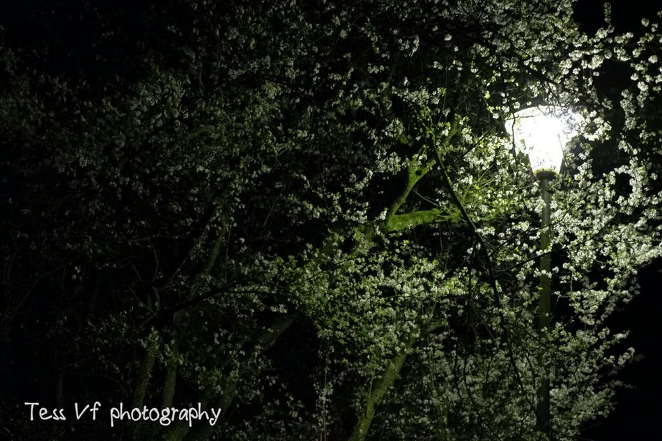 Tree Growth Branch Low Angle View Green Color Nature Tree Trunk Tranquility Lush Foliage Scenics Sky Beauty In Nature Outdoors Day Tranquil Scene Freshness No People Springtime Non-urban Scene WoodLand Nightphotography Night Lights Photography Quiet Night SweetNight
