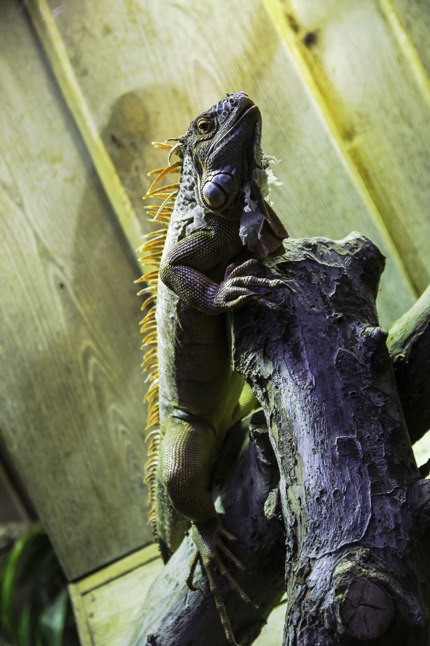 Low Angle View Of Iguana On Branch In Zoo
