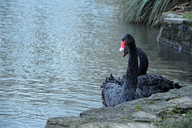 Beauty In Nature Bird Black Color Black Swan Day Focus On Foreground Nature No People Outdoors Tranquility Water