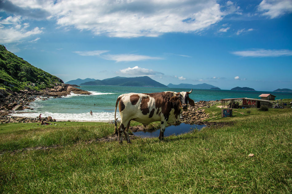 Animal Themes Beauty In Nature Cloud - Sky Cow Day Domestic Animals Field Grass Grazing Green Color Landscape Livestock Mammal Mountain Nature No People One Animal Outdoors Scenics Sky